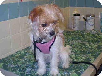 Fremont Ca Papillon Mix Meet Ginger A Puppy For Adoption