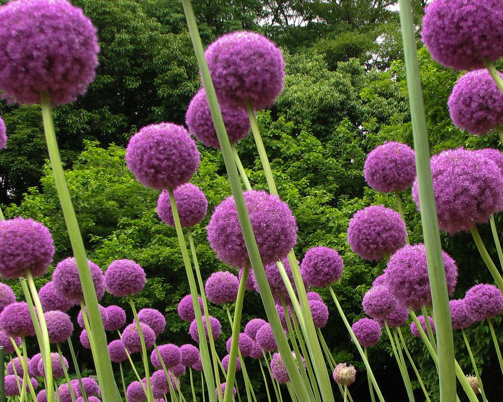 drumstick allium (allium sphaerocephalon) | winterharte pflanzen, Garten Ideen