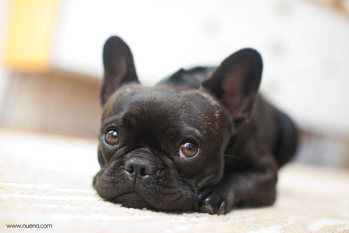Could This Be Any Cuter Bulldog Puppies French Bulldog Bulldog