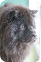 Hyde Pb Chow Chow In Indiana In Need Of Loving Home Chow Chow