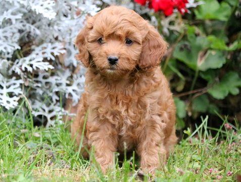 Cavapoo Puppy For Sale In Mount Joy Pa Adn 49890 On Puppyfinder