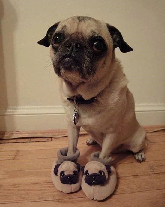 Tag Your Friend Who Goes Crazy For Pugs C Hashtag Pug Puppy