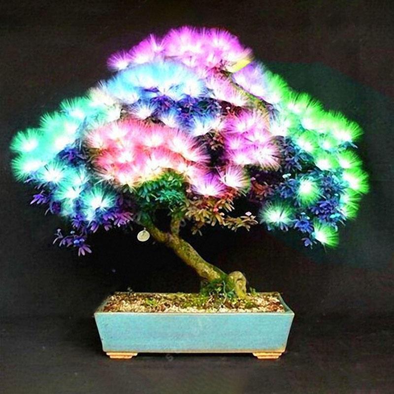 US199 Egrow 20Pcs Acacia Tree Seeds Colorful Albizia Julibrissin Tree Seed I20pcs