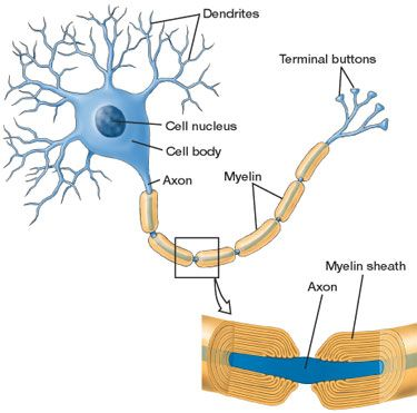 Myelinated Pns Neuron Diagram Diy Enthusiasts Wiring Diagrams