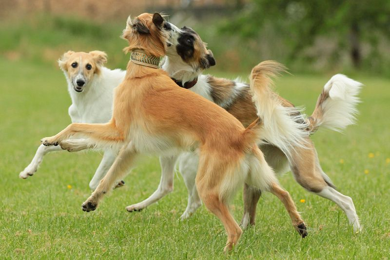 Silken Windsprite Club E V Infos Zur Rasse Zuchter Welpen Hunde Rassen Hunde Hunderassen