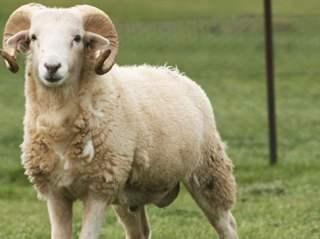 تفسير حلم ذبح الخروف منتدى اسلامي مفيد In 2020 Sheep Farmyard Animal Farm Yard