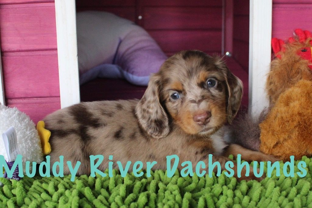 Muddy River Dachshunds Chocolate Dapple Longhair Sold Dachshund Puppy Miniature Dachshund Breed Dachshund