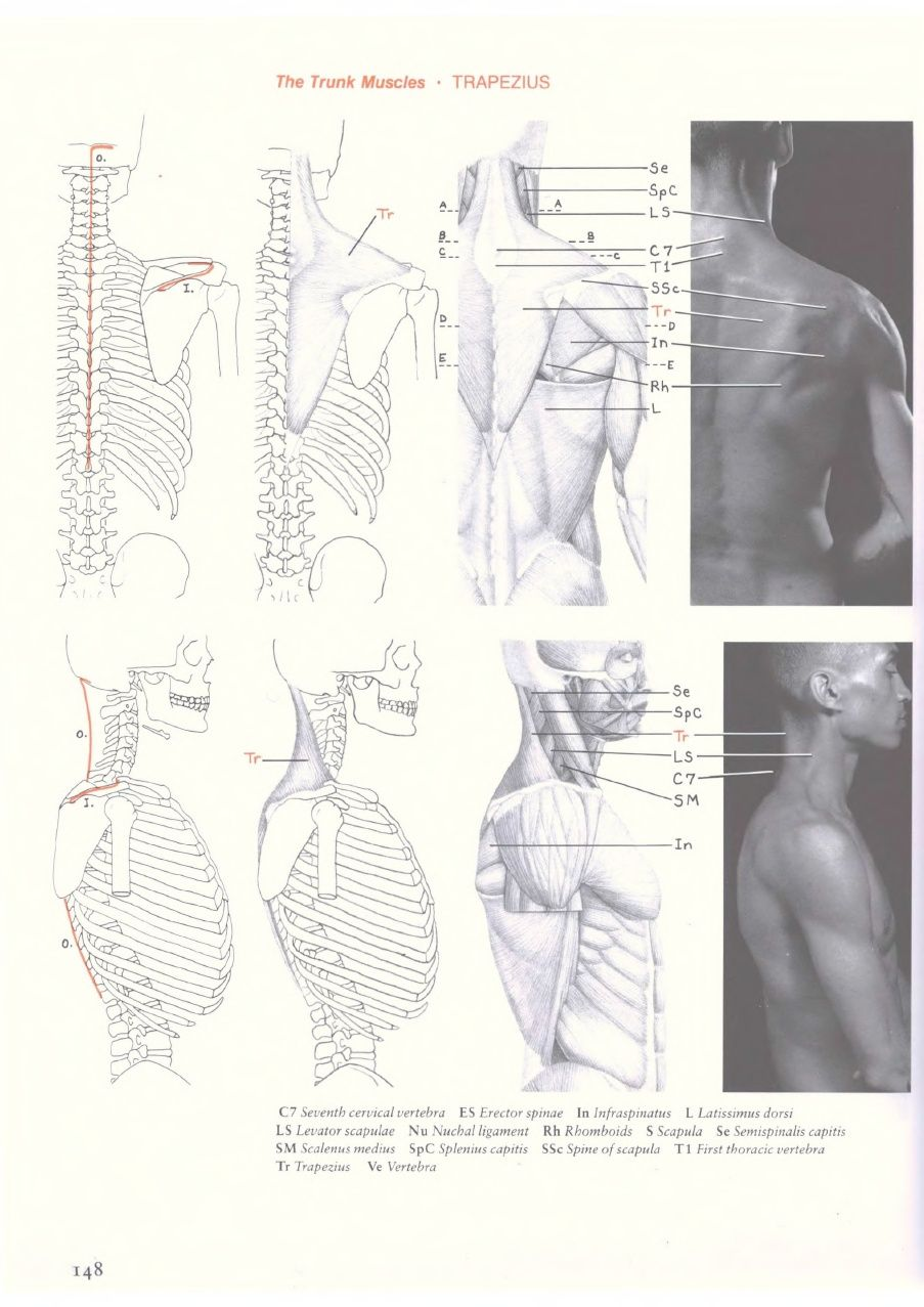 Eliot Goldfinger Human Anatomy For Artists Anatomy Pinterest