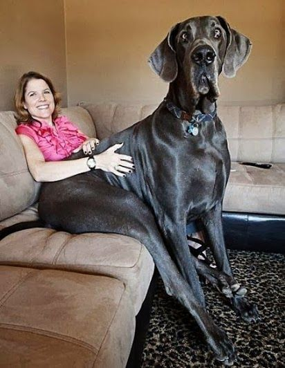 R I P George Giant George The World S Tallest Dog Ever Passed