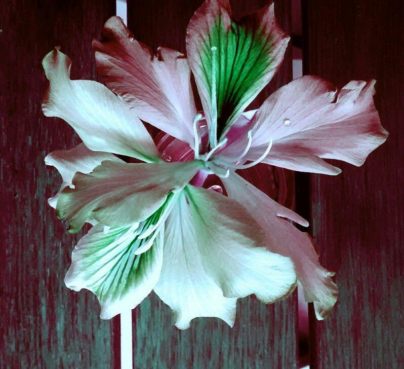 Flor da manha