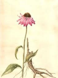 Cone Flower Tattoo Botanical Drawings Botanical Art Botanical Watercolor