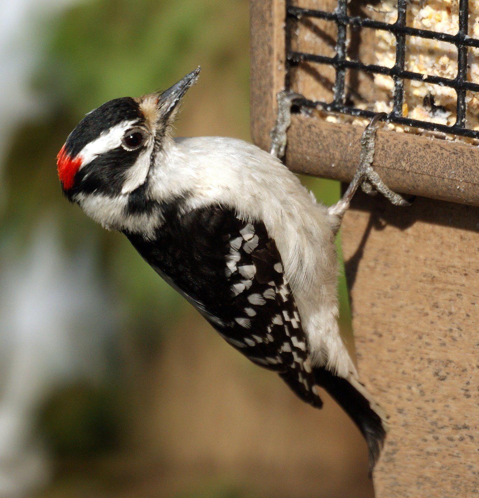 woodpeckers in nj Google Search Backyard birds, Bird