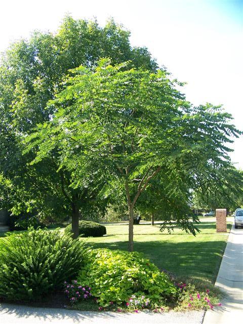 Gymnocladus Dioicus Gymnocladus Dioicus Jpg Kentucky Coffeetree Planting Shrubs Garden Trees Kentucky Coffee Tree