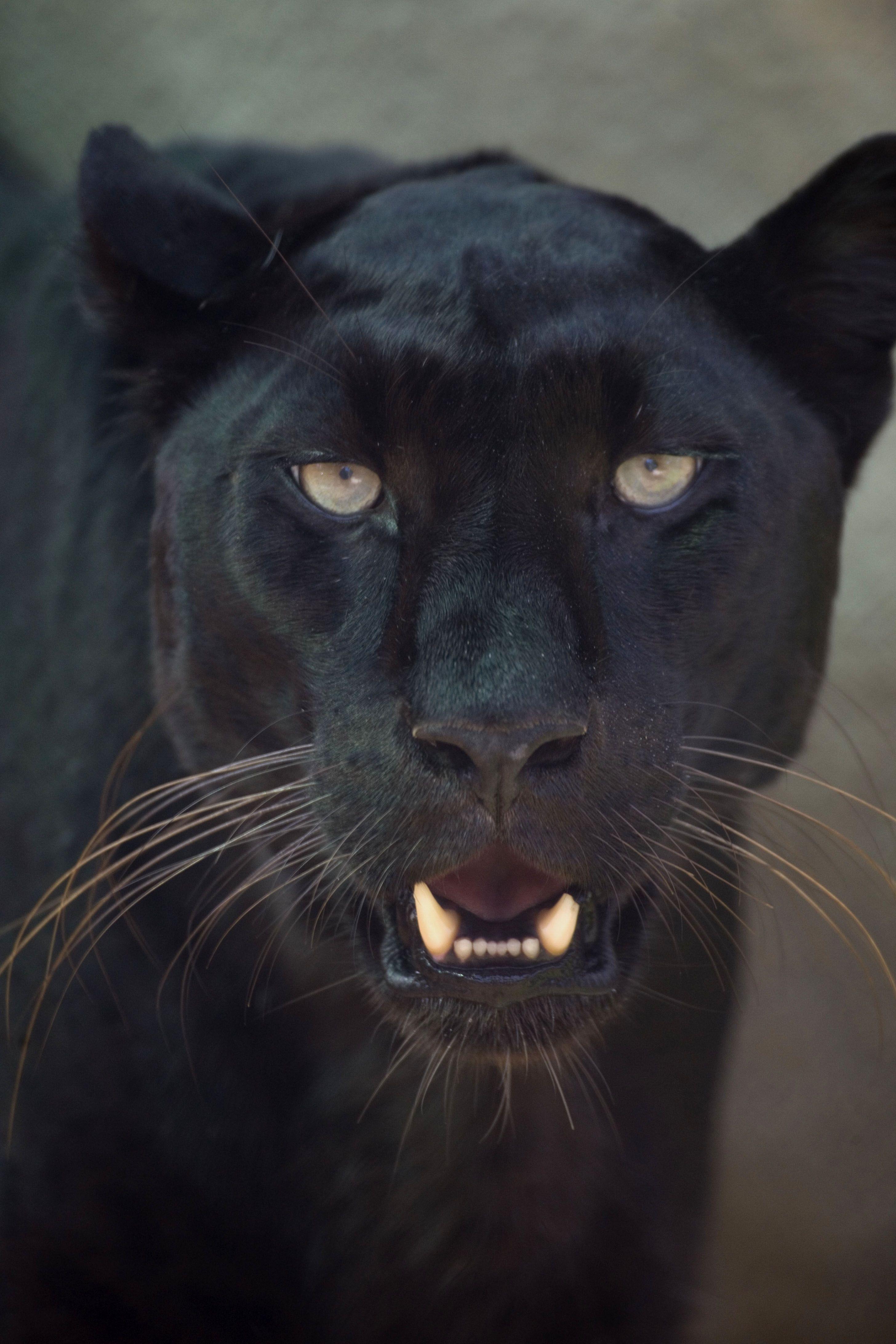 Pin by Shea Libbey on jaguar painting Jaguar animal, Big
