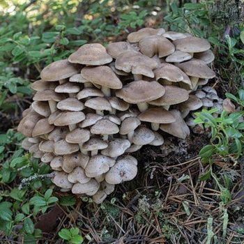 грибы съедобные фото и описание в башкирии