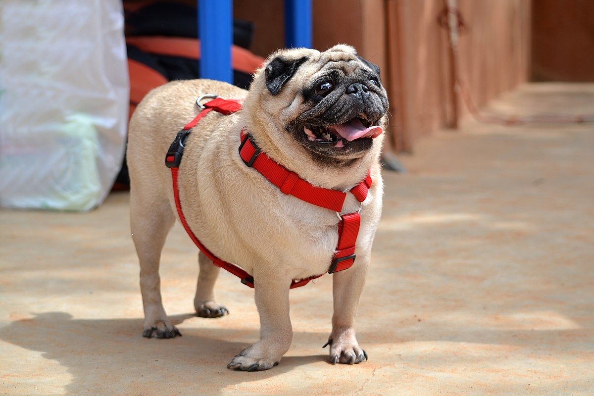 Pug Wikipedia Dogs And Kids Best Dogs For Kids Pug Dog