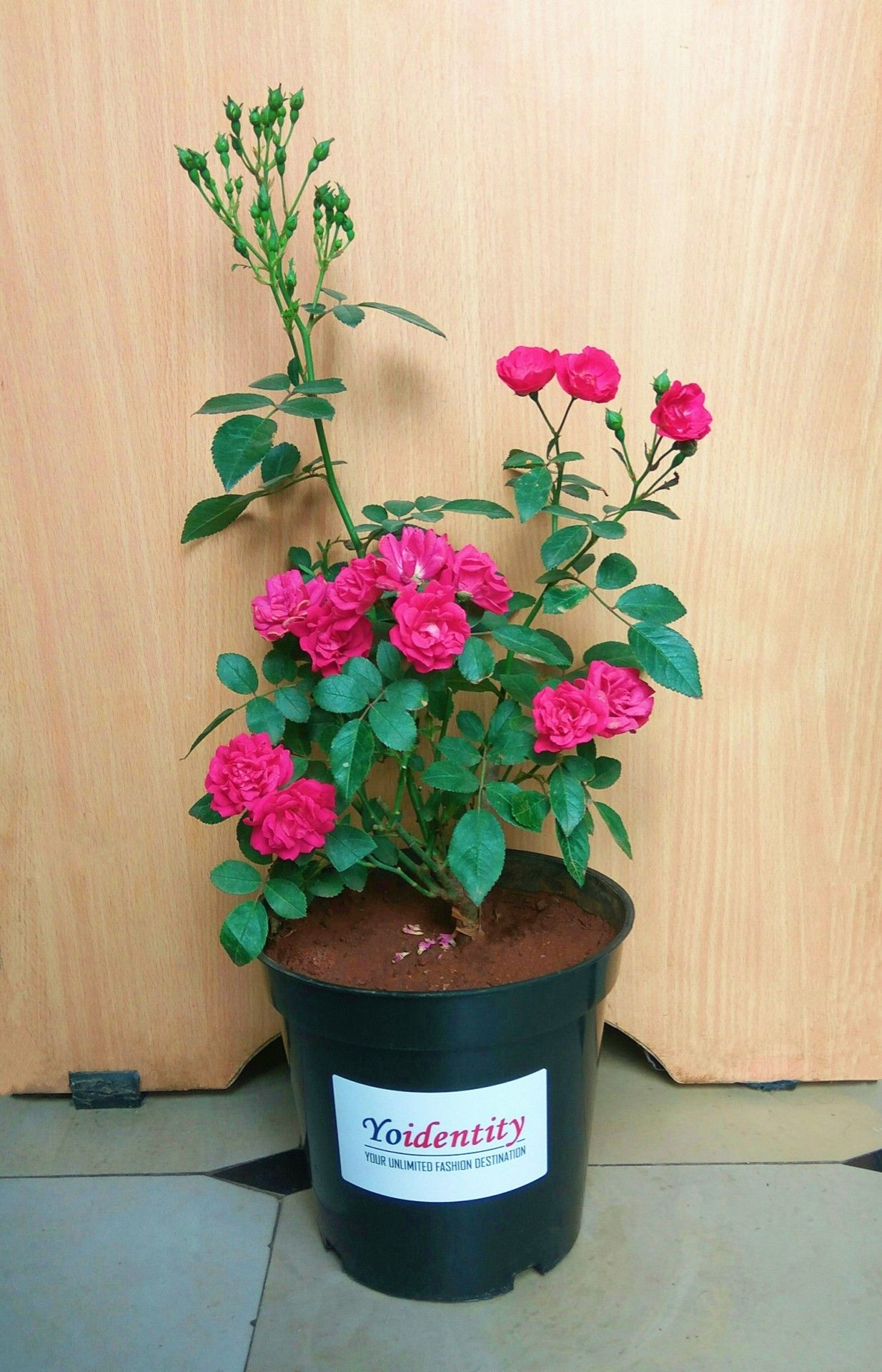 Yoidentity Pink Miniature Rose Button Rose Plant Planting Roses Perennial Flowering Plants Online Plant Nursery