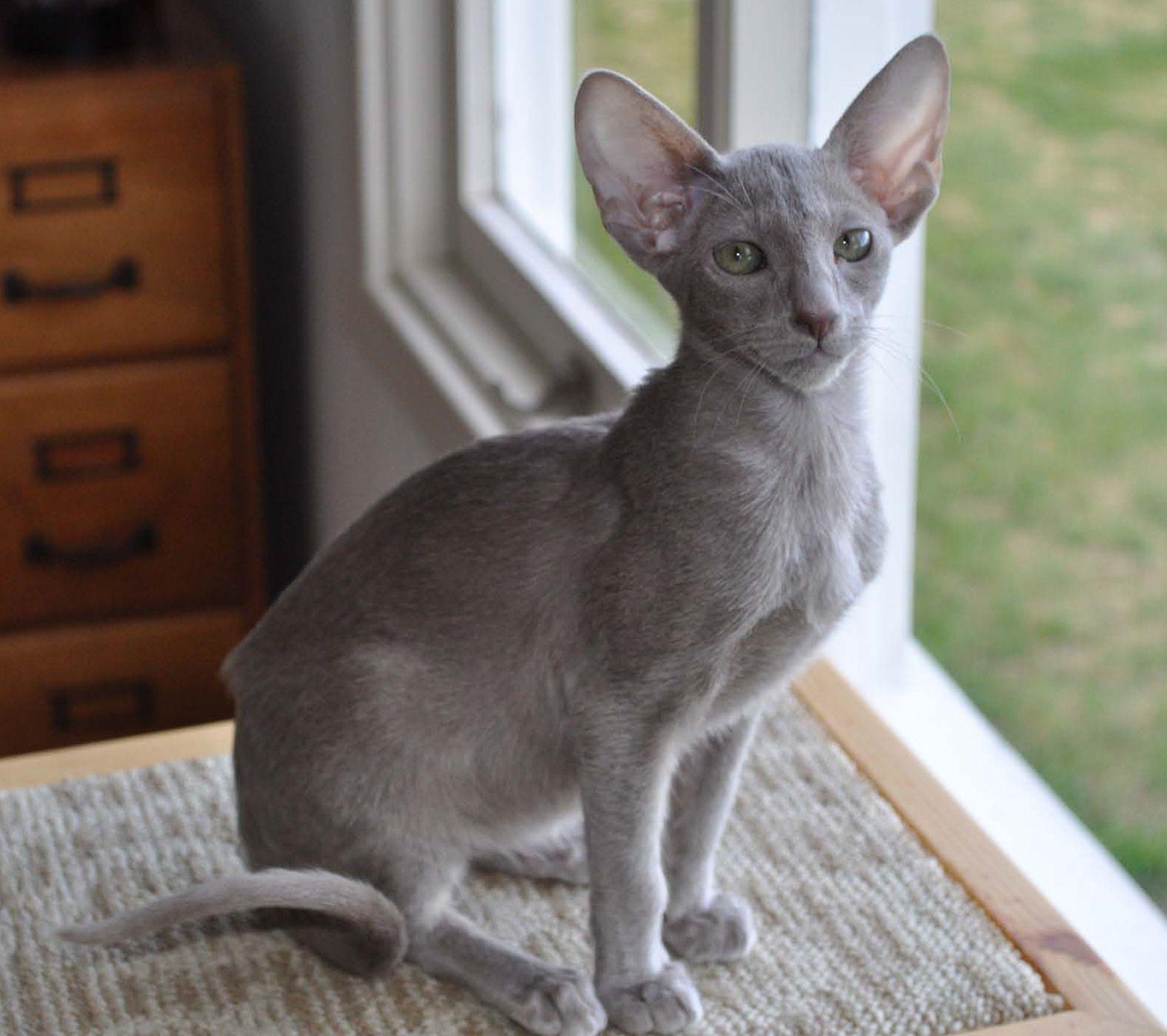 Oriental Longhair Oriental cat