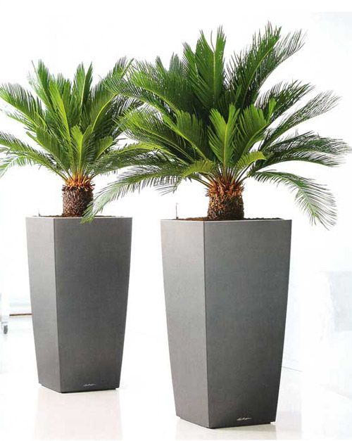 Cycas Revoluta Sago Palm Gardening Tree