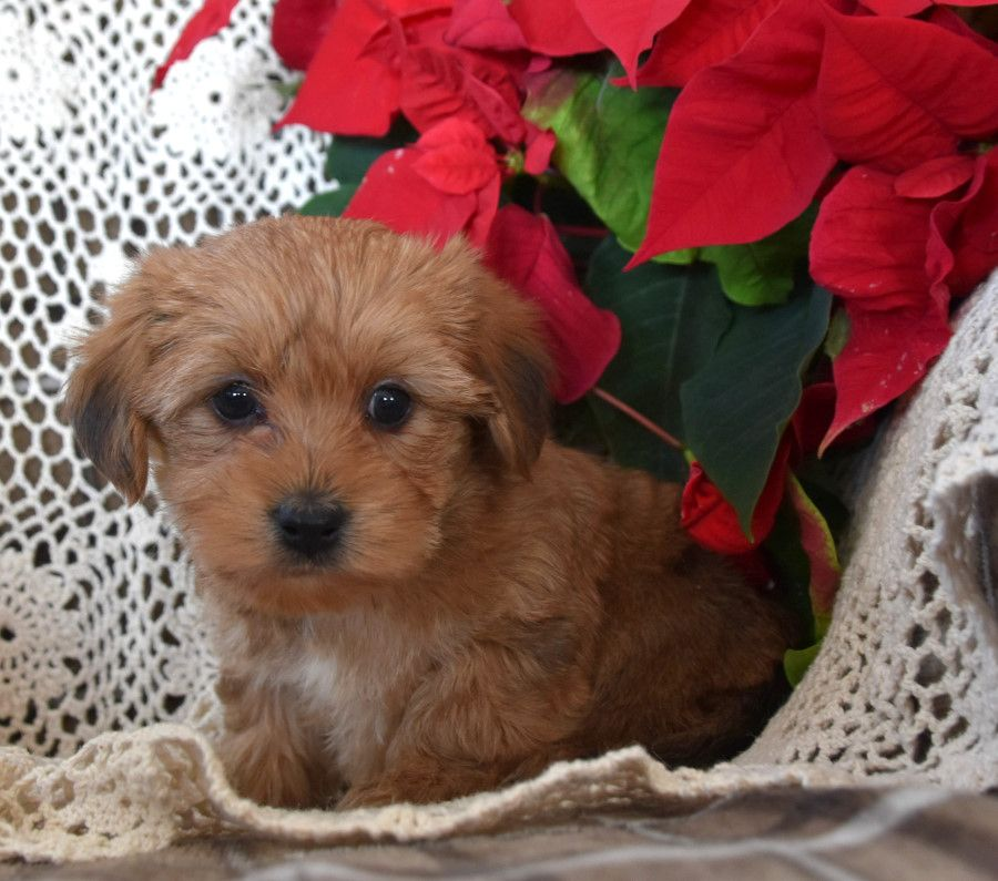 Puppies for Sale in 2020 Morkie puppies, Dog breeder