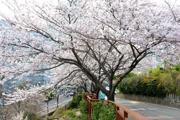Moontan Road Busan South Korea It Is Accessible By Foot From Haeundae Beach Cherry Blossom Season Booking Flights Hotel
