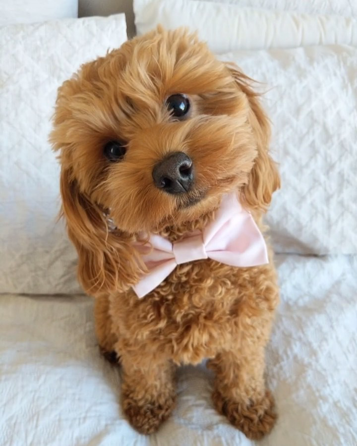 """Zoey the Cavoodle 🦖 on Instagram """"""""I'm Ron Burgundy"""