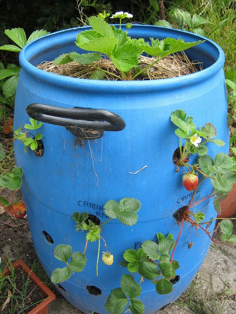 How to plant strawberries in plastic barrels space saving veggie gardens pinterest barrels - Water garden containers for sale ...