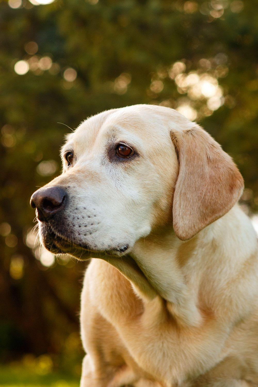 Beautiful Black Labrador Labrador Retriever Labrador Labrador