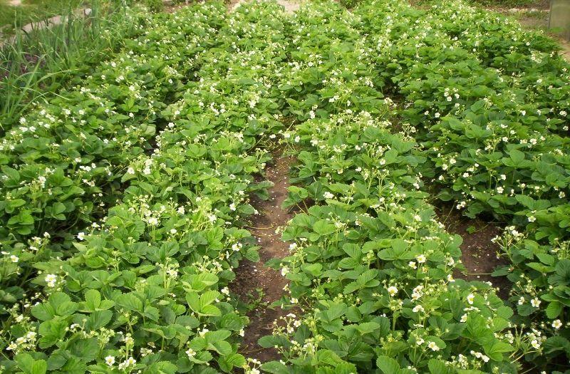 Агротехника клубники: выращивание, посадка, уход, защита ...