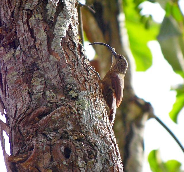 Foto arapaçu-de-bico-torto (Campylorhamphus falcularius) por Gustavo Araujo
