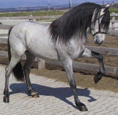 cheval espagnol gris pommele a vendre