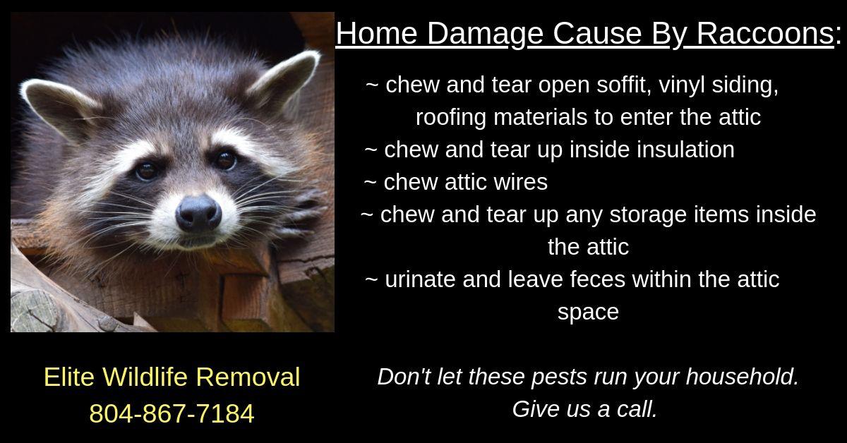 Home Damage Raccoons Wildlife Vinyl Siding Raccoon