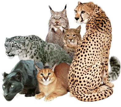 pictures of different. wild types of cats Tags Animals