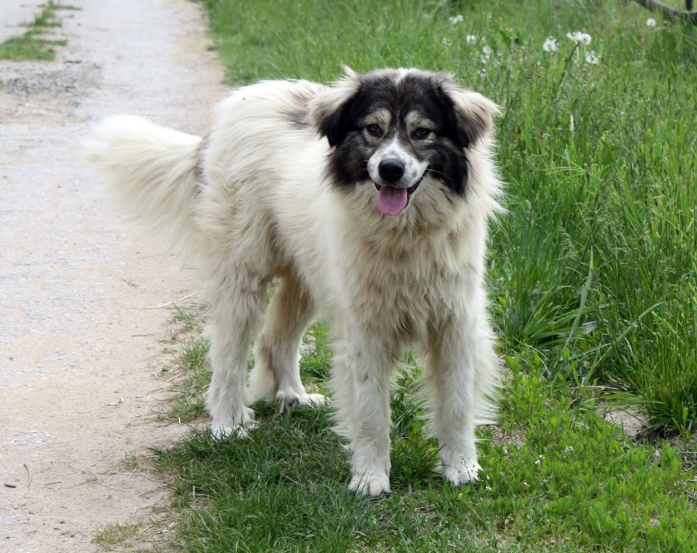 Bulgarian Shepherd Karakachan Dog A Native Shepherd Dog