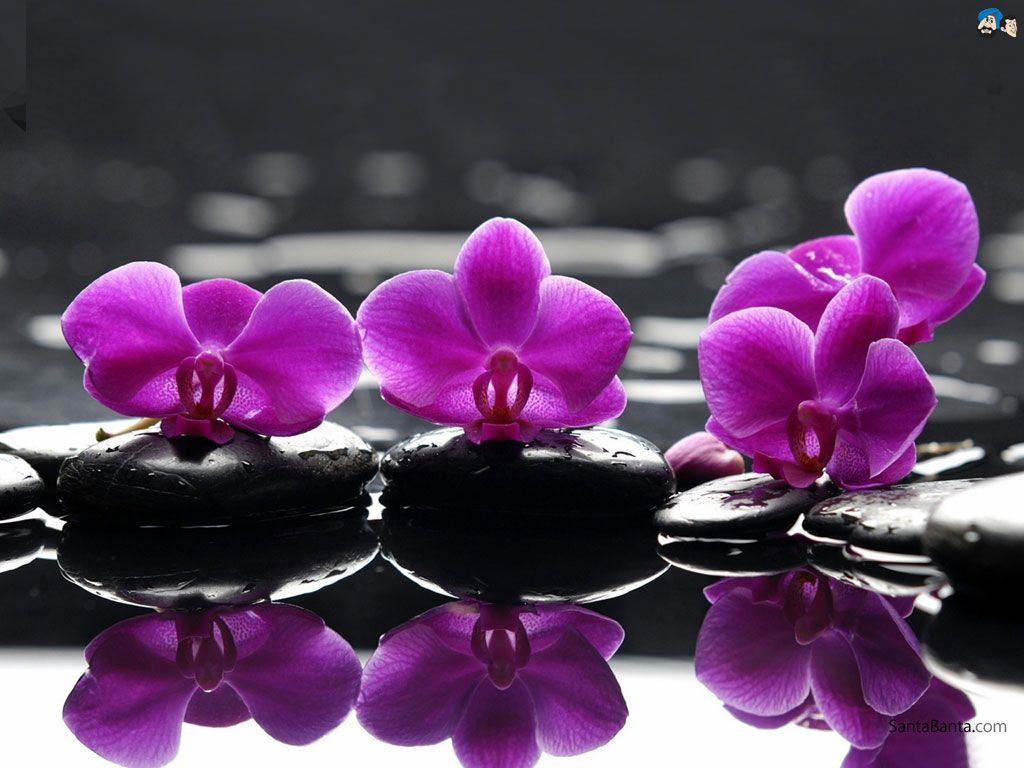 Orchid wallpapers wallpaper orchid pictures wallpapers