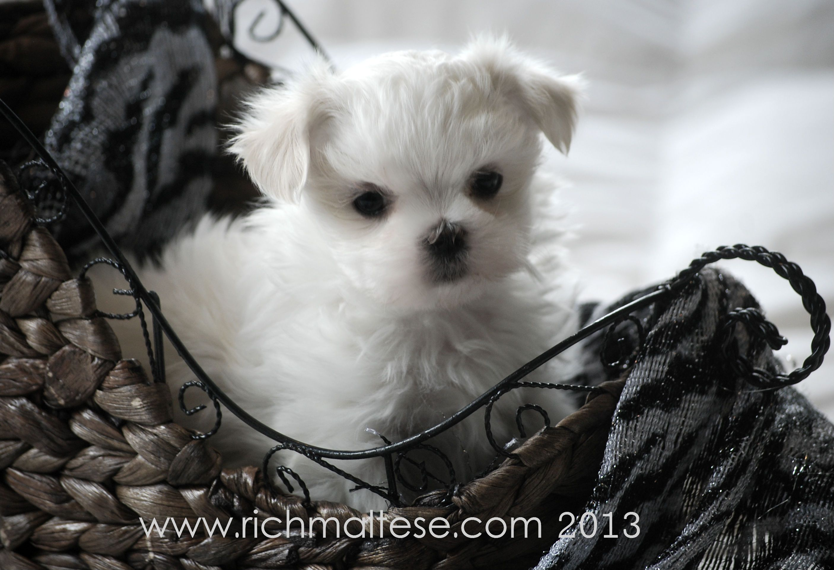 Richelieu Maltese Akc Show Dogs And Puppies San Francisco