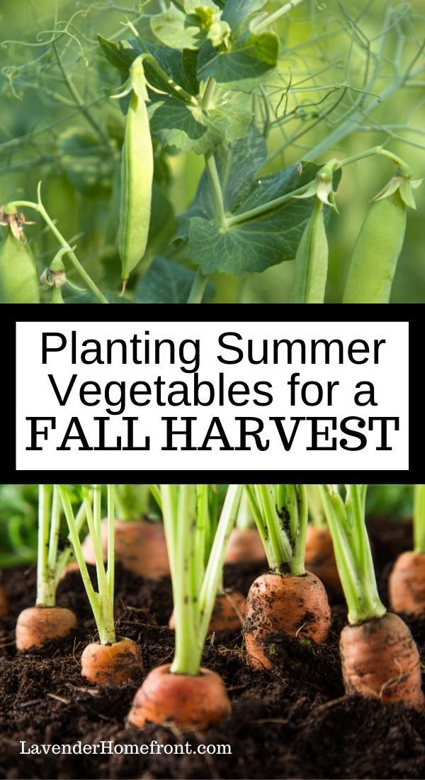 Learn the best vegetables to plant during the summer so you can harvest in the fall! It's not too late to get your vegetable garden started. #vegetablegarden #beginnergardening #gardeningtips #gardenplanting