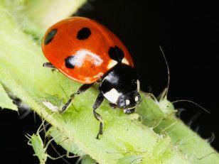 Beneficial Ladybug Loves To Eat Garden Aphids Edible Garden