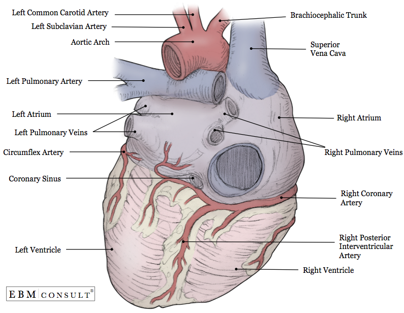 Attractive Lcx Heart Anatomy Photo - Anatomy Ideas - yunoki.info