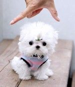 Micro Teacup Maltese. I WILL get this dog! They are from 5000$ to 9000$ grr...
