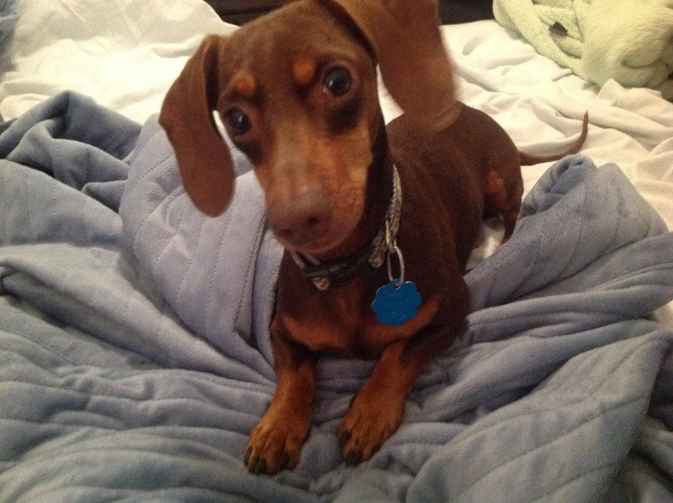 Happy Tails Who Could Say No To Dalton Dachshund Love