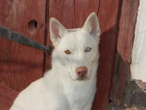 Roxie Is An Adoptable Siberian Husky Dog In Lansdale Nj Roxie Is
