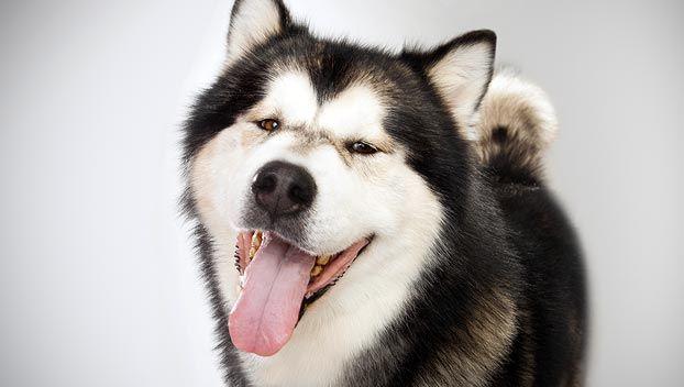 Alaskan Malamute Dog Breed Selector Dog Breed Selector