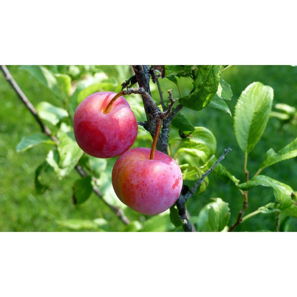 Online Orchards Dwarf Santa Rosa Plum Tree Bare Root Wild Plum Tree Plum Tree Plum