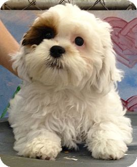 Media Pa Shih Tzu Poodle Toy Or Tea Cup Mix Meet Zig A