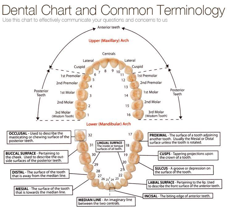 chart of tooth numbers and dental terms Archives - Tribeca Smiles ...