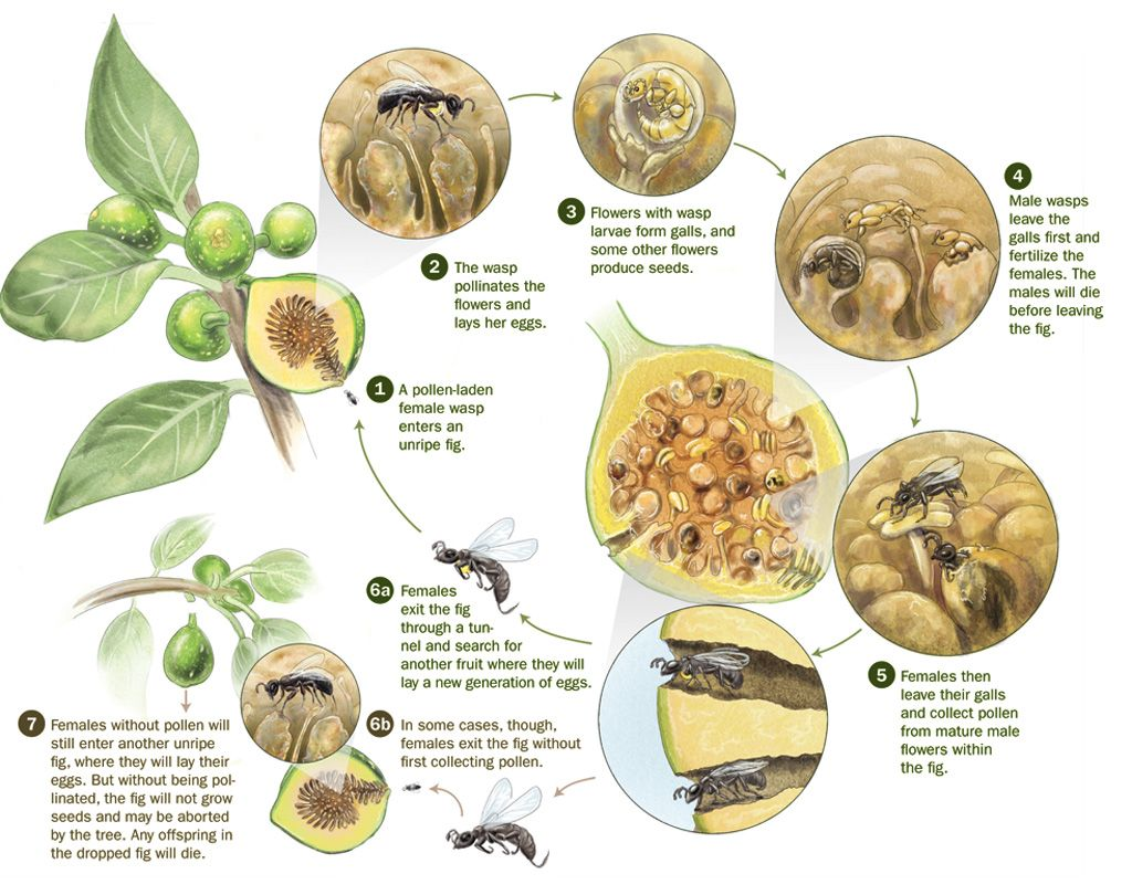 Fig wasp and fig tree mutualism entomology pinterest wasp these small insects are actually fig wasps and play an essential role in the life cycle of the fig tree as its sole pollinator pooptronica