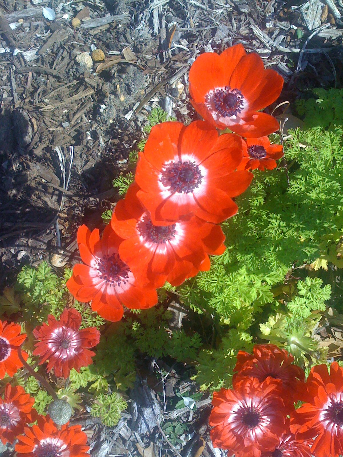 Anemones Always The First Flower To Bloom In Spring And Sometime