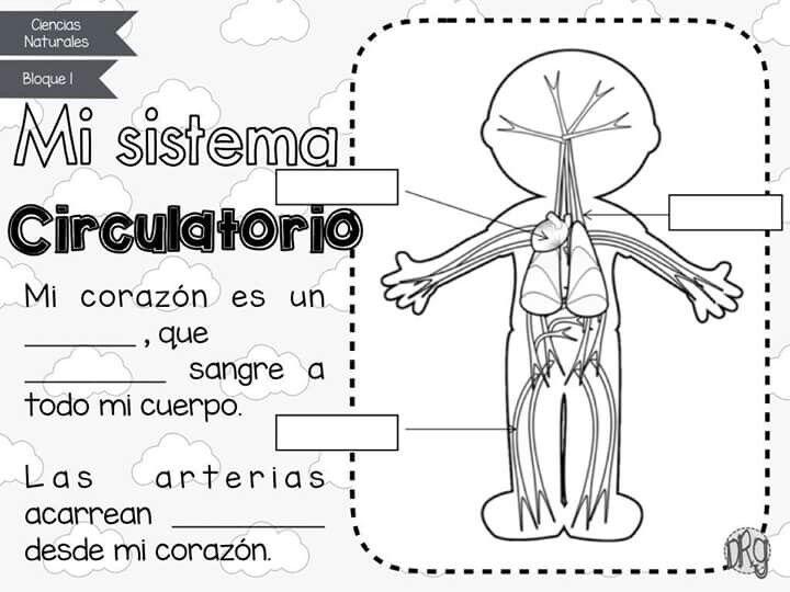 Imagenes Del Sistema Circulatorio Para Niños Para Colorear picture ...