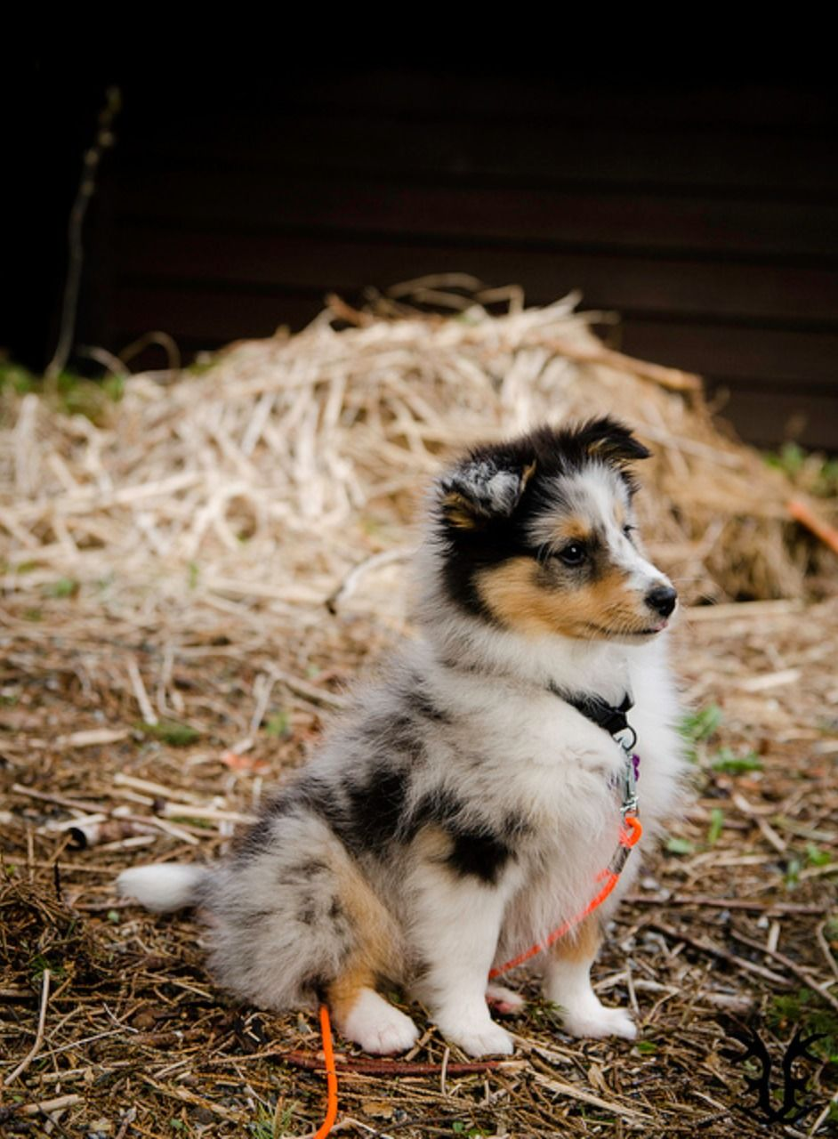 Blue Merle Sheltie pup Sheep dog puppy, Sheltie, Cute dogs